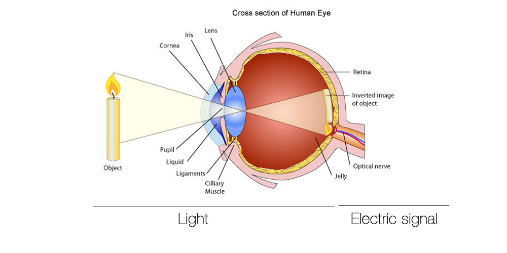 What Part Of The Eye Gives It Color